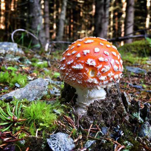 Fly agaric in the forest. | © Edith Danzer