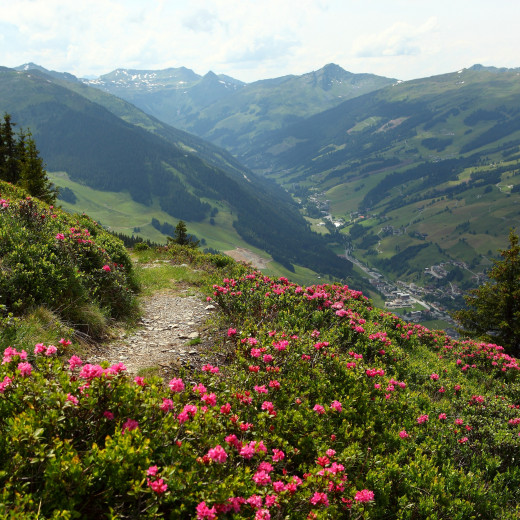 Alpenrose in Home of Lässig | © c Dietmar Sochor