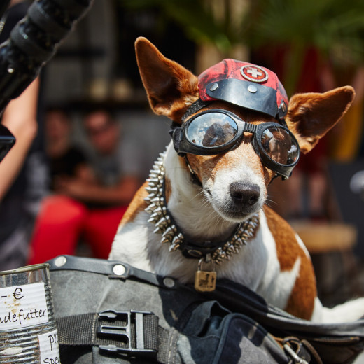 A four-legged frequenter at the Biker Mania | © Daniel Roos