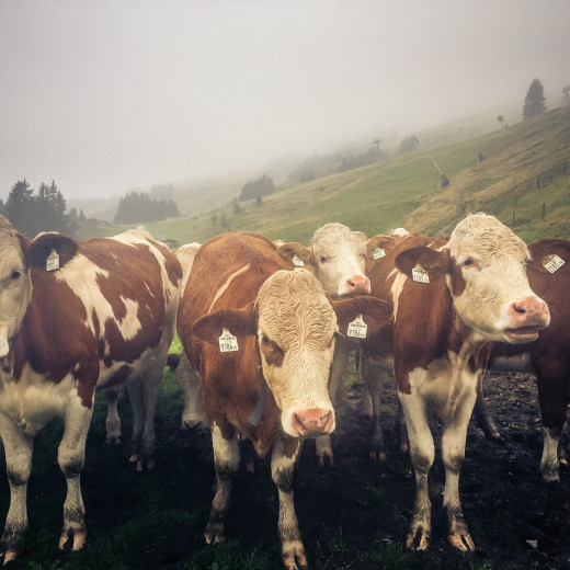 The cattle gather for returning to the valley. | © Edith Danzer
