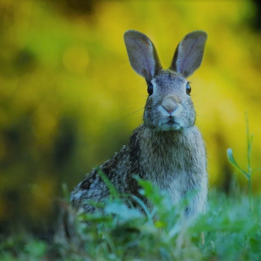 Many rabbits live in our forests and fields