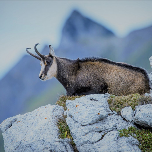 Chamois live at higher altitudes