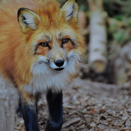 Foxes are smart and adaptable