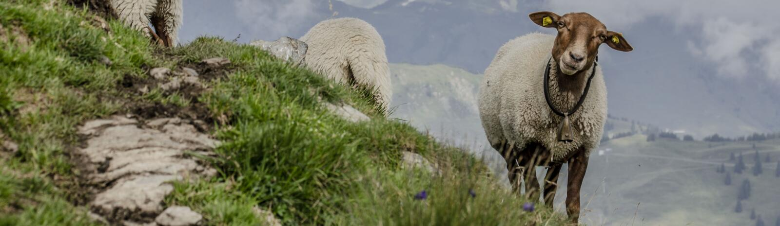 Sheep on Schattberg | © Jakob Zeller