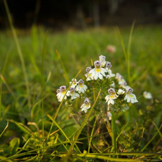 Eyebright with a lot of blossoms = a lot of snow | © Edith Danzer